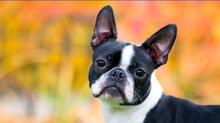Foto de archivo de un perro raza Boston Terrier