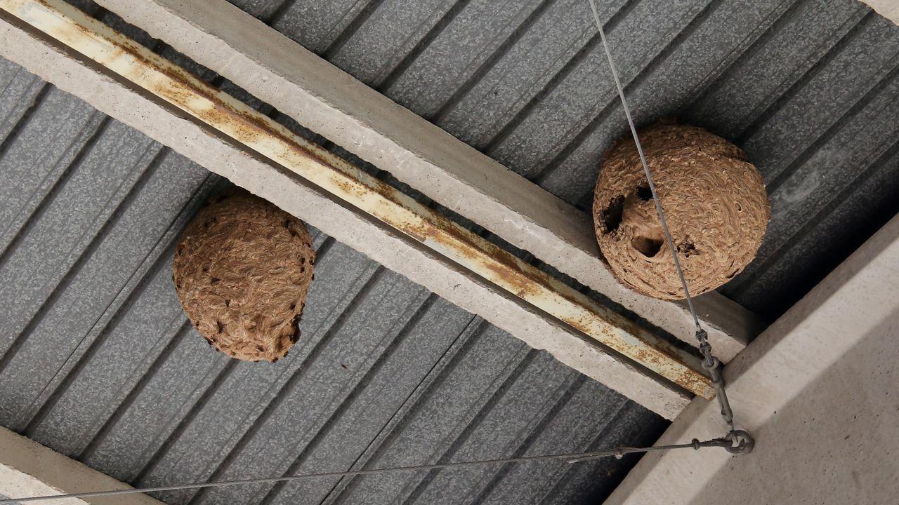 O Pasatempo, un parque enciclopédico en obras.Es inusual ver dos nidos secundarios de velutina tran próximos entre sí