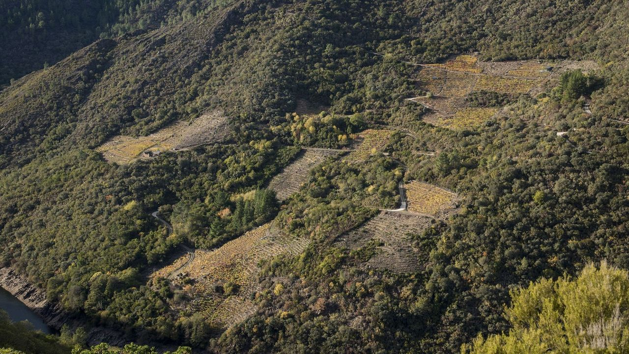 Viñas cultivadas junto a monte que en su día fue viñedo en la ribera de Lagares, en Vilachá de Salvadur