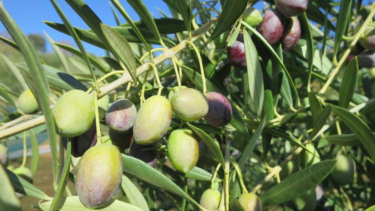 Aceitunas en un olivar de la parroquia quiroguesa de Bendollo