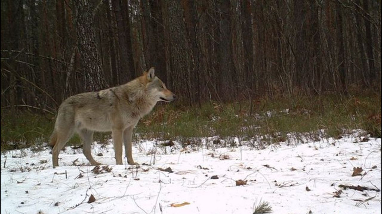 Lobo europeo (Canis lupus). Autor: TREE Project / Sergey Gaschack