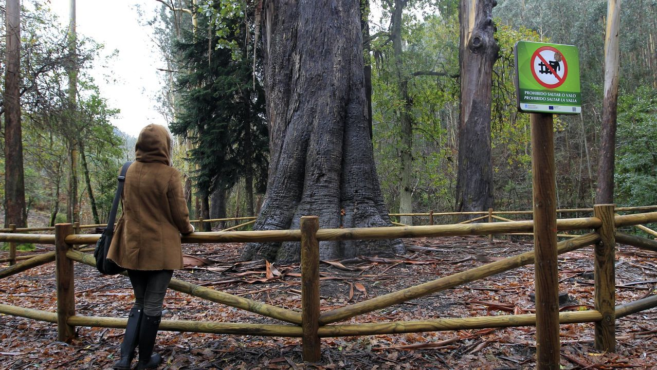 O Avó, el eucalipto emblema de O Souto da Retorta, atrae visitantes, en foto de archivo