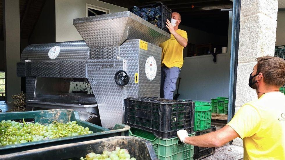 Descarga de uvas en Adega Algueira, una de las más madrugadoras este año