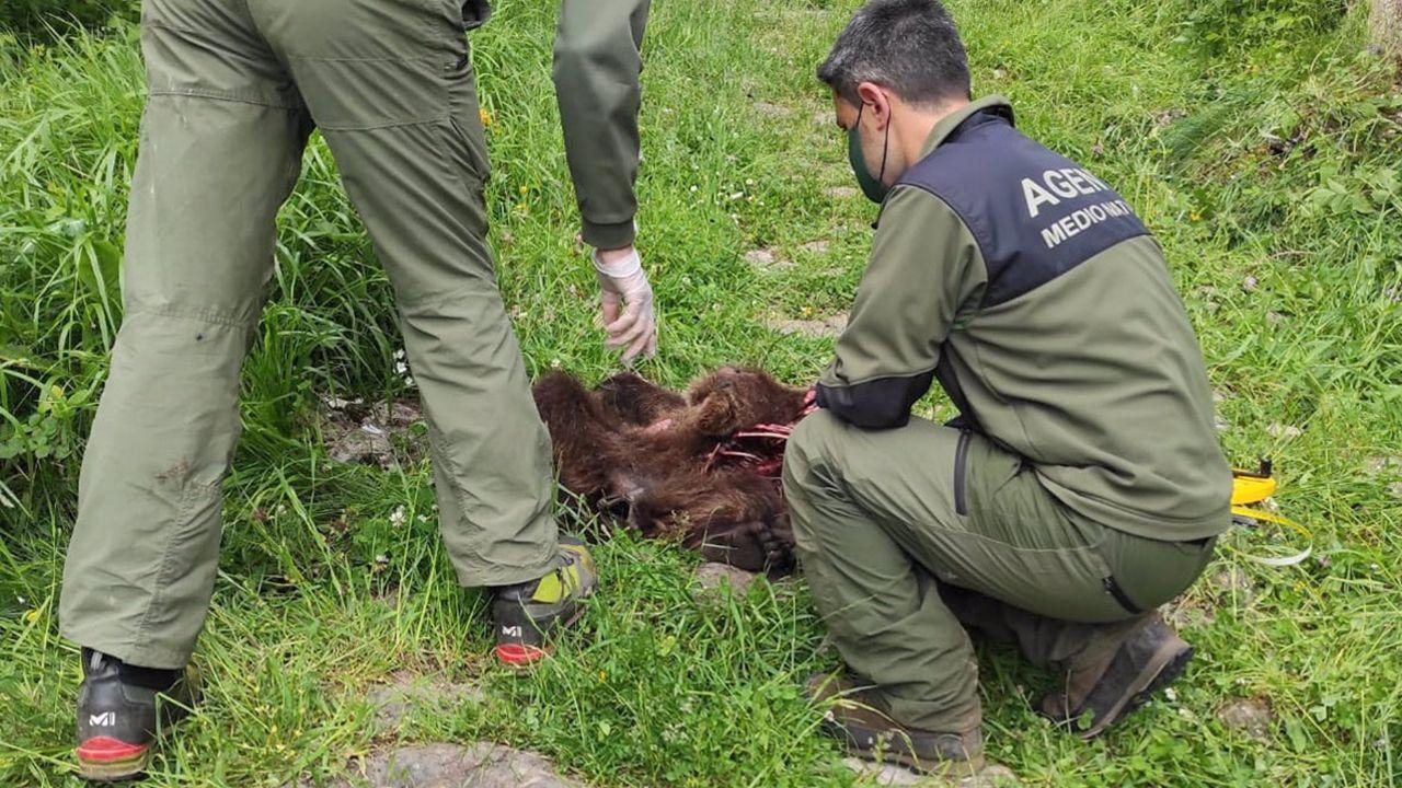 Efectivos de Medio Natural de Asturias junto a los restos de un oso pardo