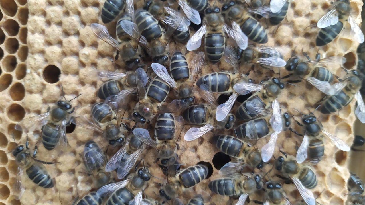 La abeja negra local tiene unas rayas muy delgadas