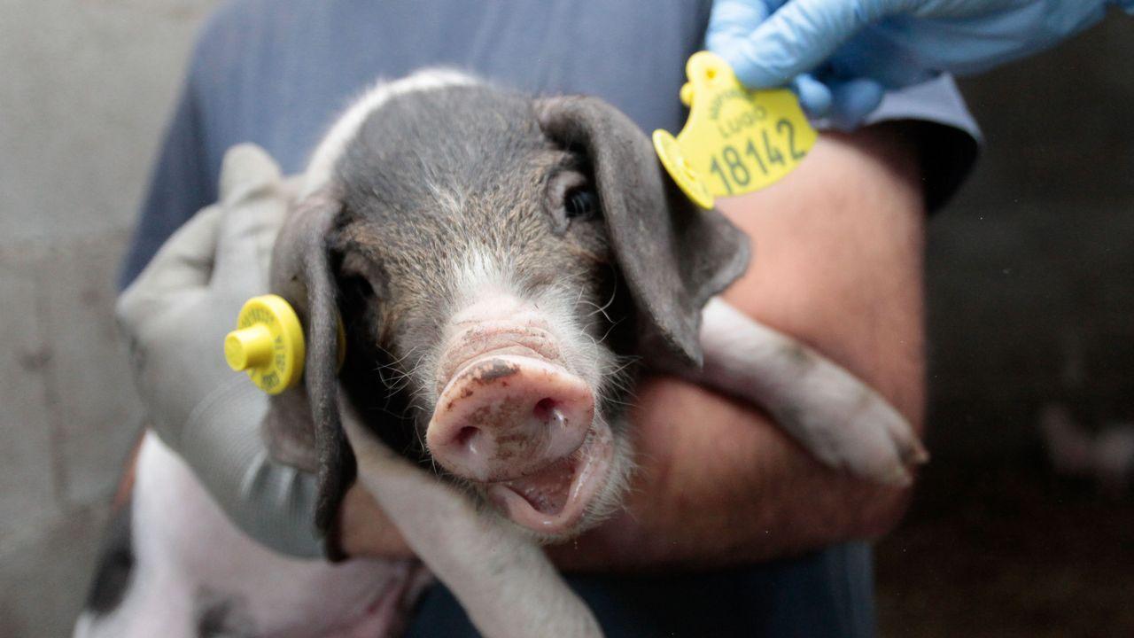 Microchips para los 3.000 porcos celtas que nacen cada año