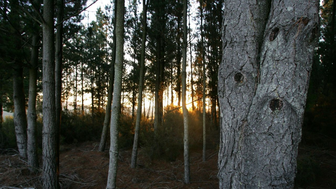 Imágenes que dejó el Xoves de Compadres en la comarca de Lemos.Saldrán a la venta un total de 41 lotes de pino y eucalipto