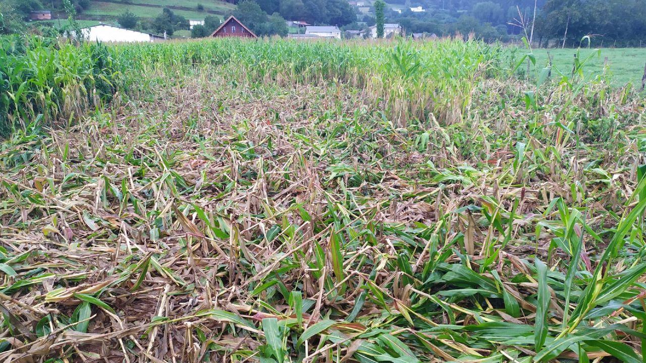Daños en una finca de maíz en el municipio de Moeche, a pocos días de que se inicien las labores de ensilado
