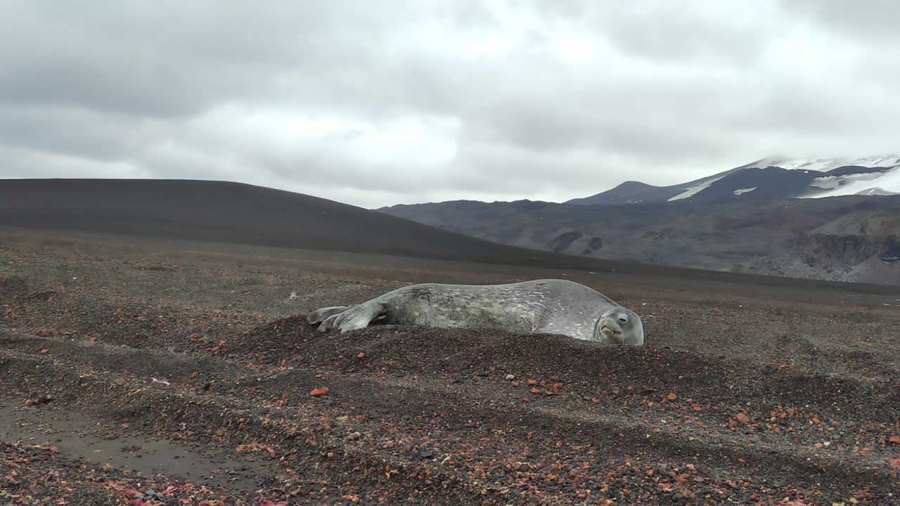 Una foca leopardo descansando
