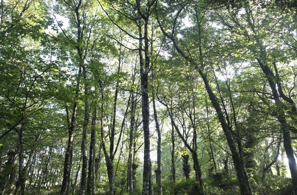 El informe del Consello da Cultura insta a la Xunta a preservar las masas arbóreas afectadas.