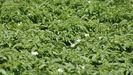 Imagen de archico de un campo de patatas