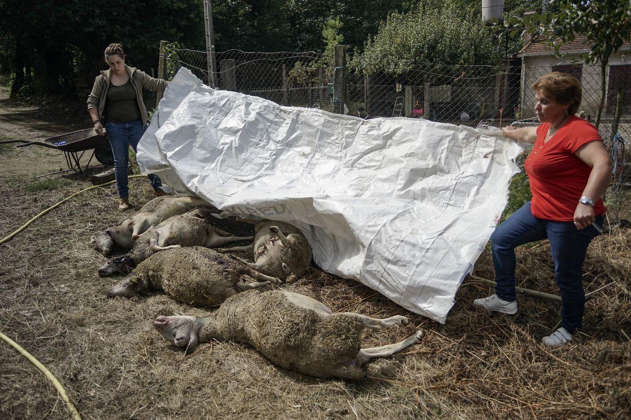 El lobo ataca la granja de Elvira Pérez, en la aldea de San Simón