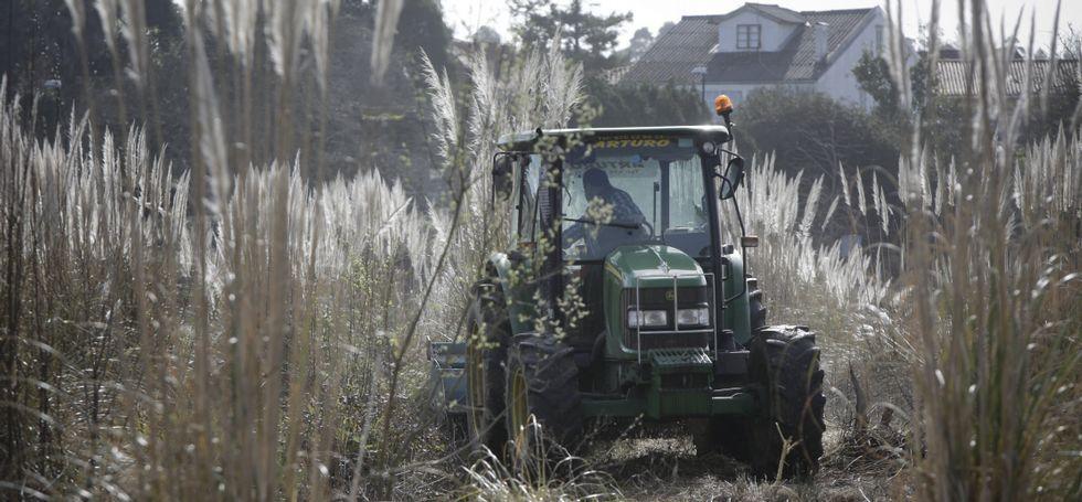 Un tractor desbrozó y trituró las plantas, que antes habían sido tratadas con herbicida.