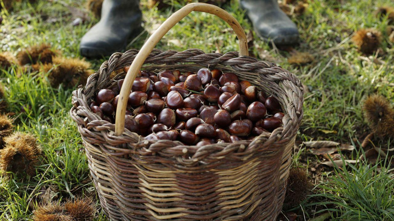 La producción de castaña es notable en provjncias como Ourense