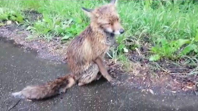 Estado en el que se encontraba la raposa cuando fue hallada.Matteo Salvini, exministro del Interior italiano