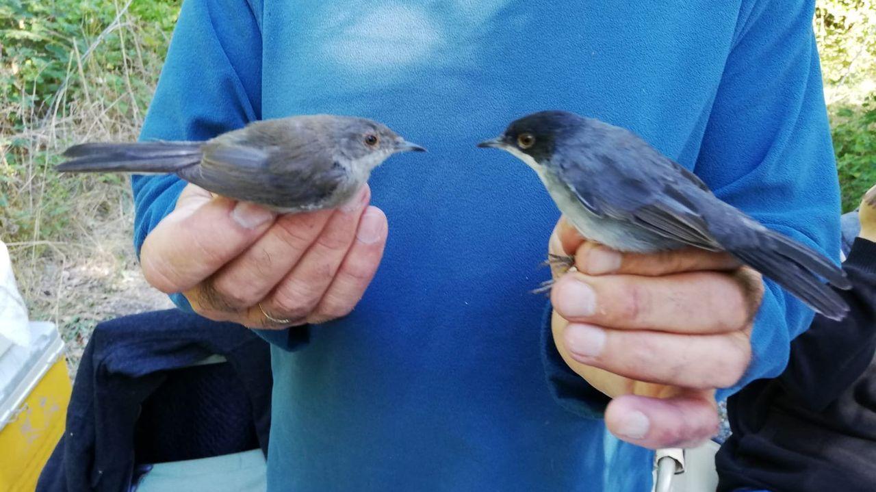 Hembra (izquierda) y macho de curruca cabecinegra o papuxa de cabeza negra (Sylvia melanocephala)