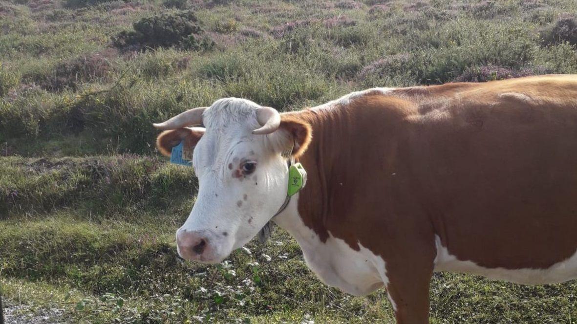 Una de las vacas de Manuel Capón que viven en libertad en los montes del concello de Muras con el collar