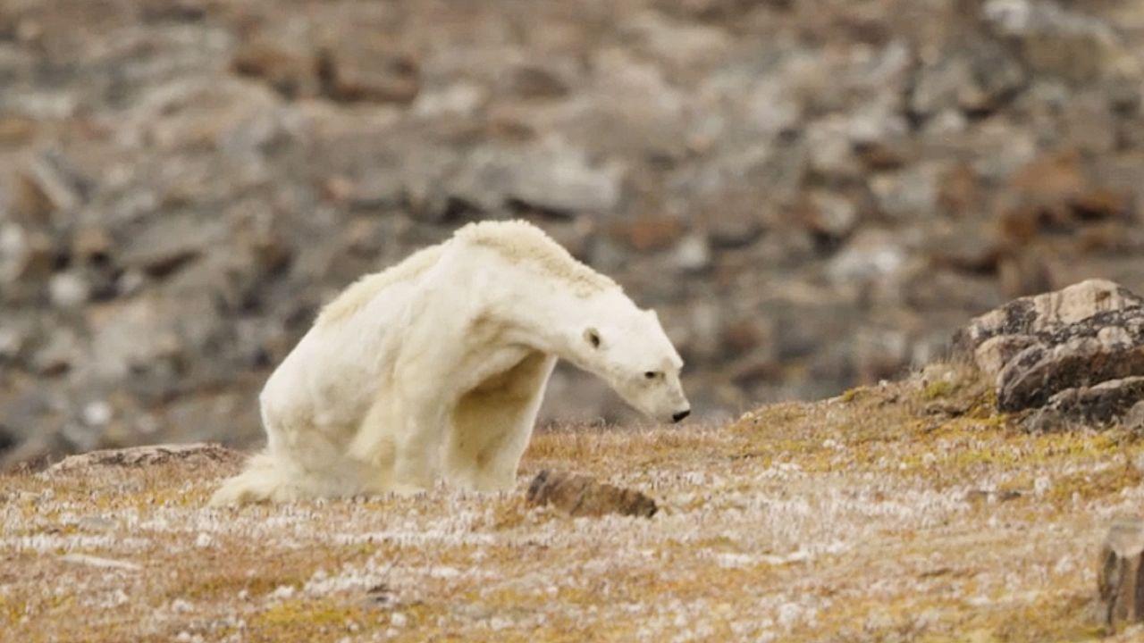 Así es la agónica muertede un oso polar en Canadá