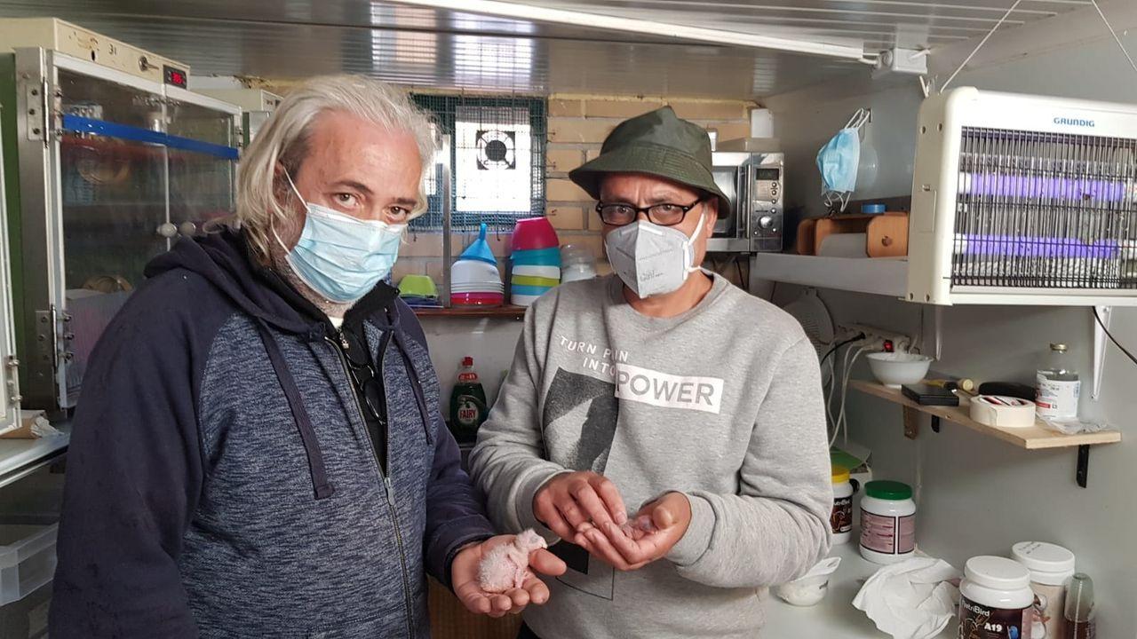 Primeros loros de Madagascar criados en cautividad en Galicia