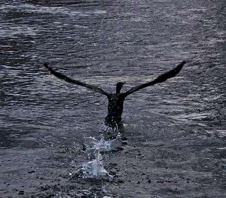 Las imágenes del rescate en O Ézaro.Los cormoranes llegaron el miércoles, al corazón de Carballo, al parque del San Martiño.