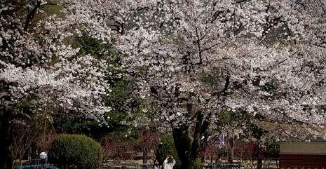 El planeta Tierra como nunca se había visto.Los cerezos tardan una media de diez años en crecer y florecer.