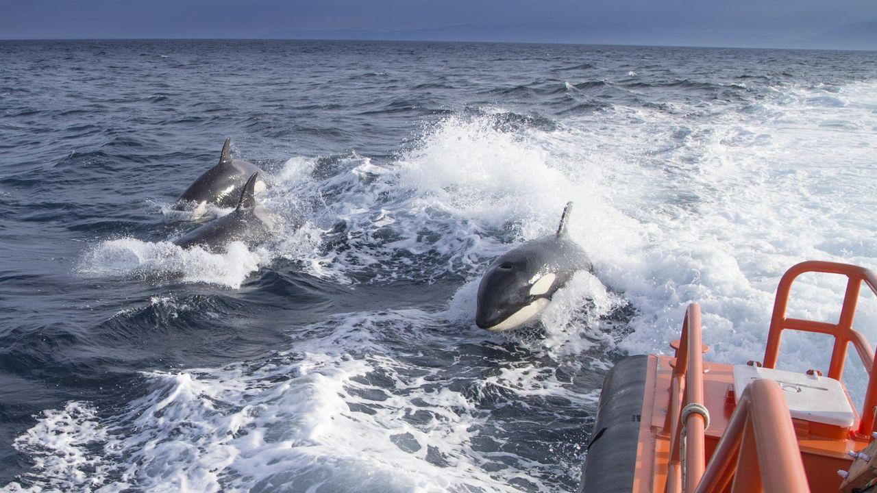 Atraca en Burela un pincheiro con problemas en el motor.Las orcas que han interactuado con los veleros pertenecen a la población de orcas del Estrecho (en la imagen)