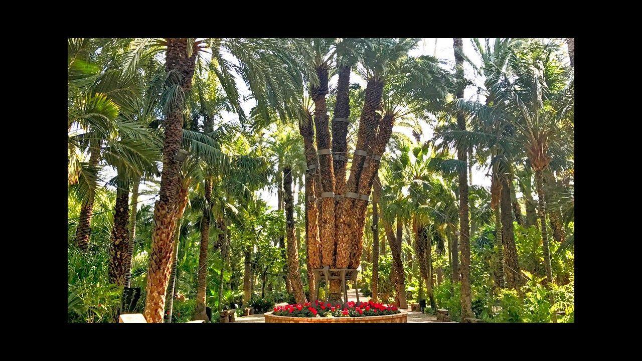 Palmera de Elche. Alicante. La palmera impreial es el árbol más querido del palmeral más grande de Europa. Unida sentimentalmente desde hace más de un siglo a la ciudad, forma parte de la historia local