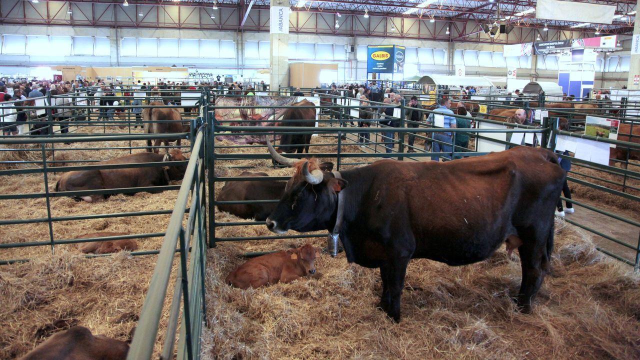 Abrió la Feira da pataca e a maquinaria agrícola de Xinzo.Imagen de archivo de unas vacas de raza autóctona en la feria