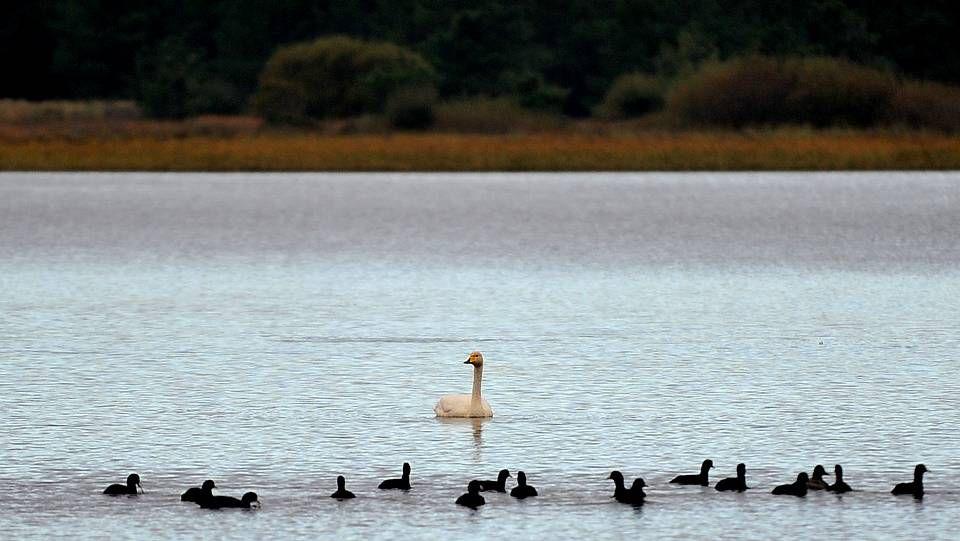 Protegida por distintas figuras mediombientales, la laguna litoral de A Frouxeira (Valdoviño), es un humedal de gran valor ornitológico