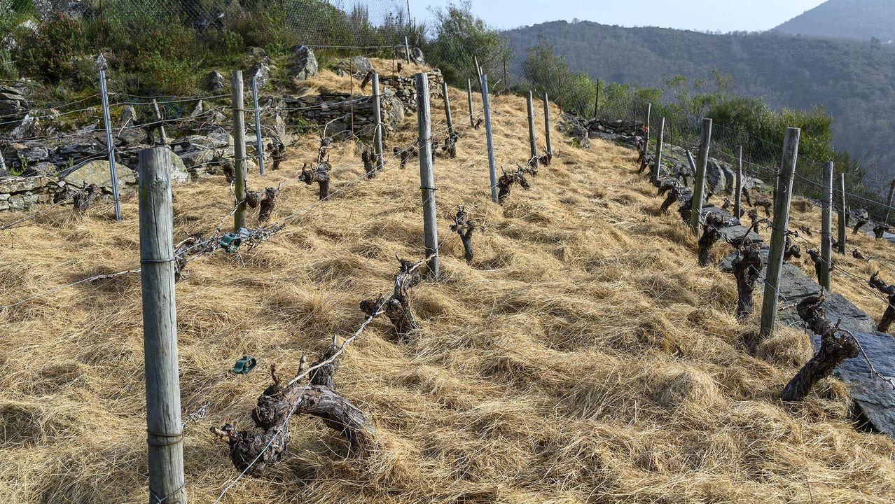 Viña proxima al mirador de Soutochao con una cubierta de paja para evitar la proliferación de malas hierbas