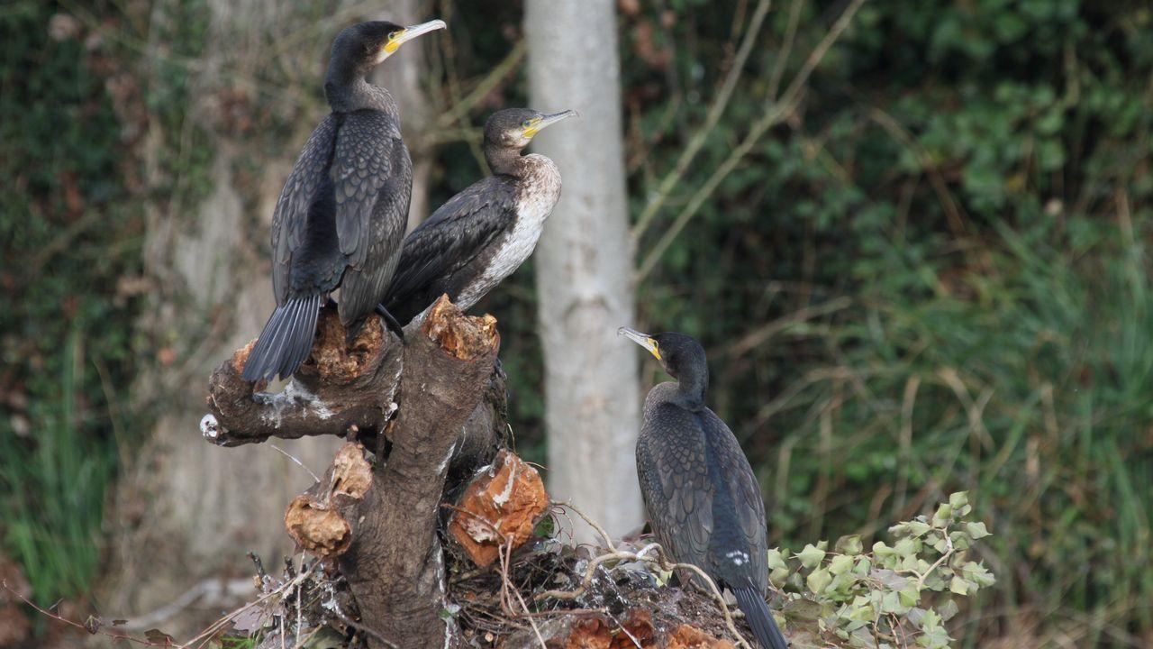 El cormorán grande, un ave marina que se adenta en los ríos, puede verse con frecuencia en el cauce del Cabe