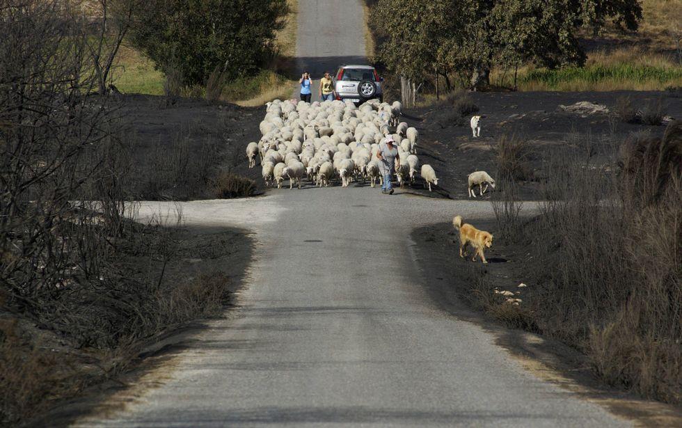 Un rebaño de ovejas, en Vilela, durante las fechas del incendio en la Serra do Larouco.