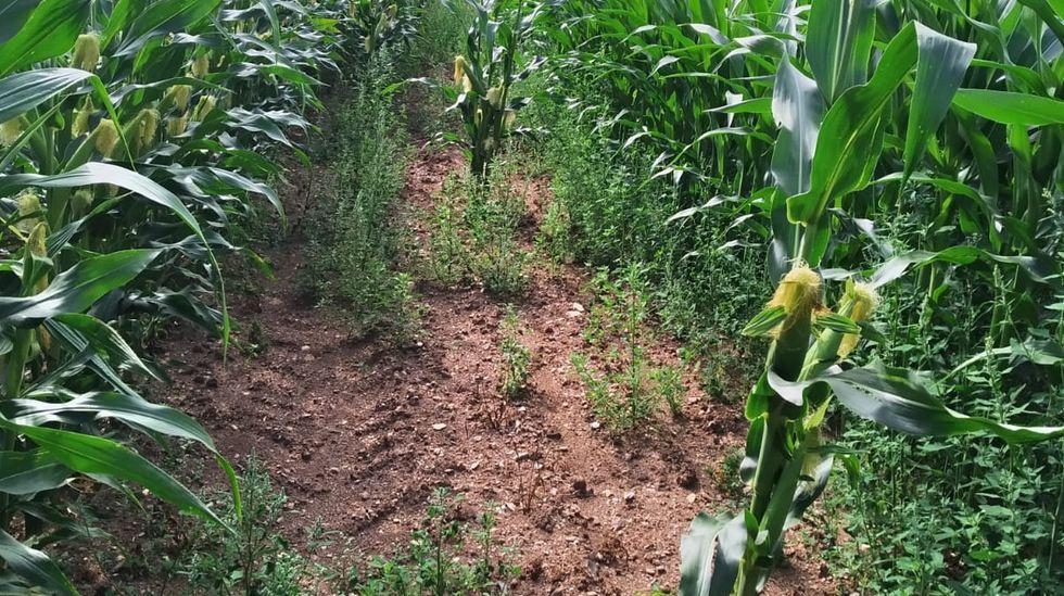 Calvas en las que ahora se aprecian las pérdidas causadas por los jabalíes en los primeros días tras las siembra de esta primavera