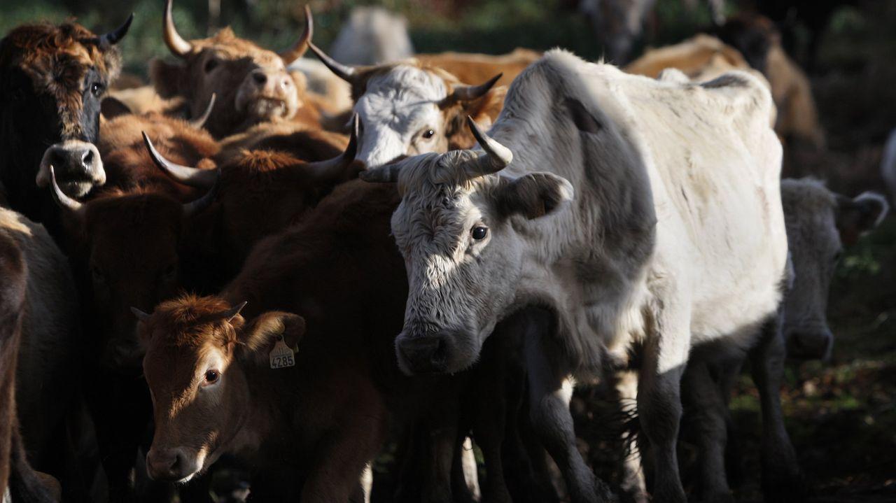 El saneamiento del ganado es una actividad que a veces se vuelve peligrosa para los veterinarios