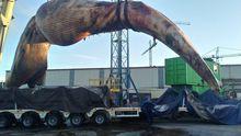 Así fue el traslado de la gran ballena a Cogersa