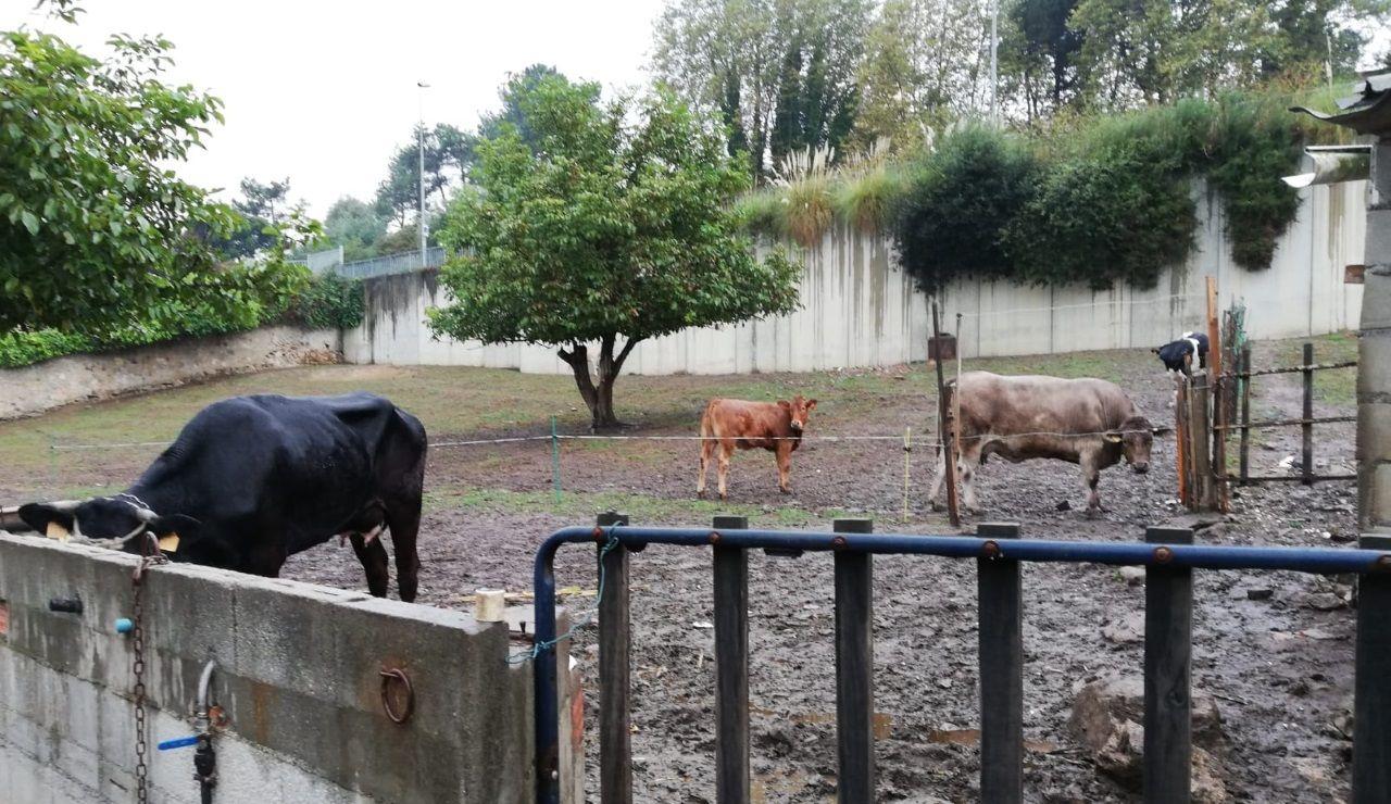 Vacas junto al Hospital Teresa Herrera.Xurxo G. Penalta, ilustrador