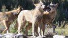 Foto de archivo de una manada en el Centro del Lobo de Castilla y León