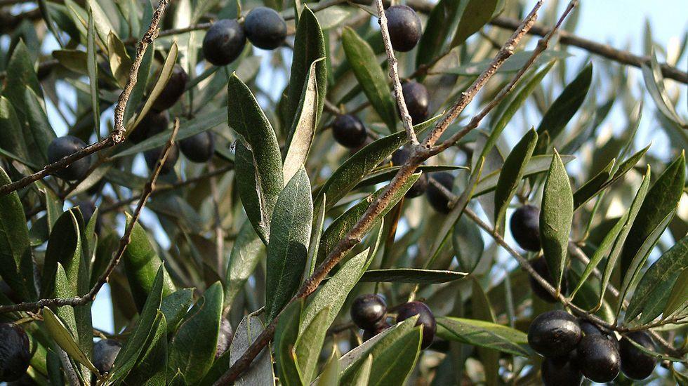 Aceitunas en uno de los numerosos olivos que crecen en la aldea y sus alrededores