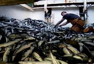 Los arrastreros gallegos acabaron la cuota de xarda a mediados del mes de marzo