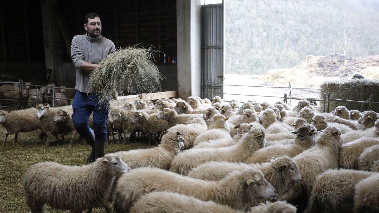A explotación de Alberto suma máis de 300 cabezas e usa os propios recursos que dá o monte