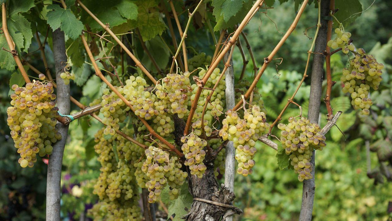 Vídeo por el día del libro del CEIP Curros Enríquez de Celanova.Entrada de uva en una bodega de Chantada durante la pasada vendimia