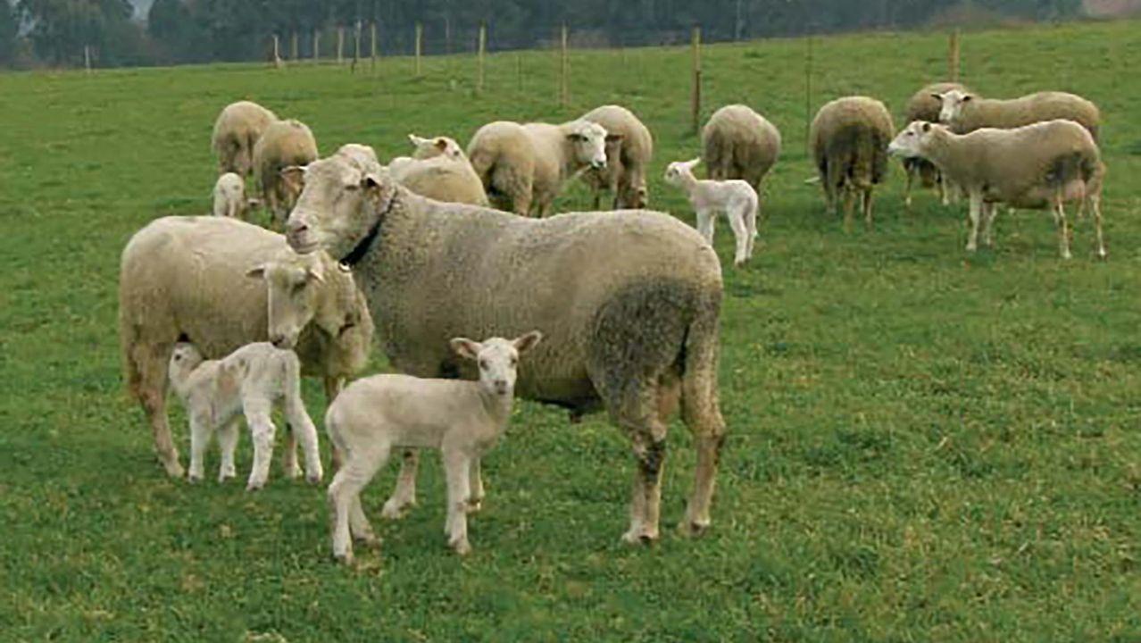 Diego en medio de las ovejas que trasquiló hace un mes. Él fue uno de los que aceptó la oferta de diez céntimos por vellón
