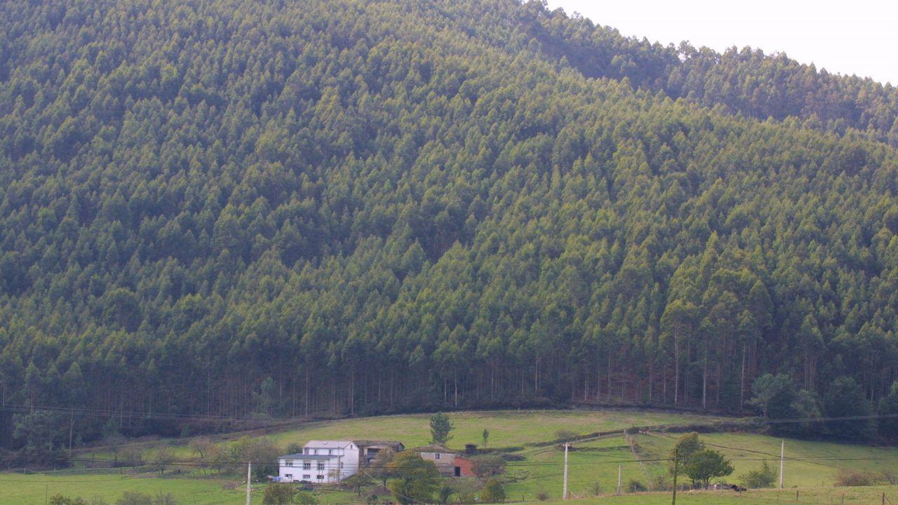 Eucalipto y pino, frente a frente.Las plantaciones de eucalipto representan el 3% de la superficie forestal española