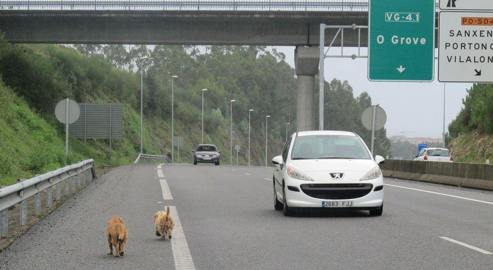 Los perros acceden a la autovía a través de los enlaces o los agujeros en el vallado.