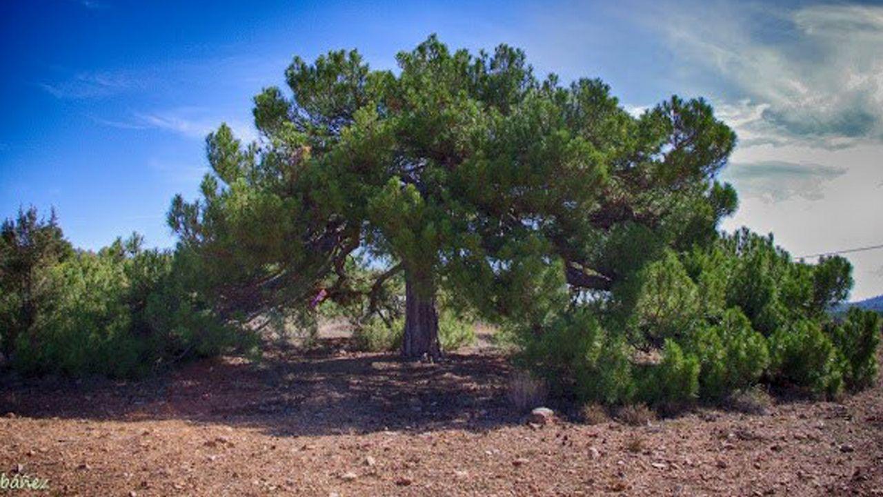Pino laricio Alicante. La Yesa, Alicante. El pino laricio de La Yesa es mucho más que un árbol antiguo con forma de sombrero. Es un espacio clave para los habitantes del pequeño pueblo de la sierra valenciana.