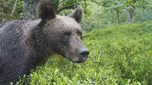 Un oso alimentándose en la Cordillera