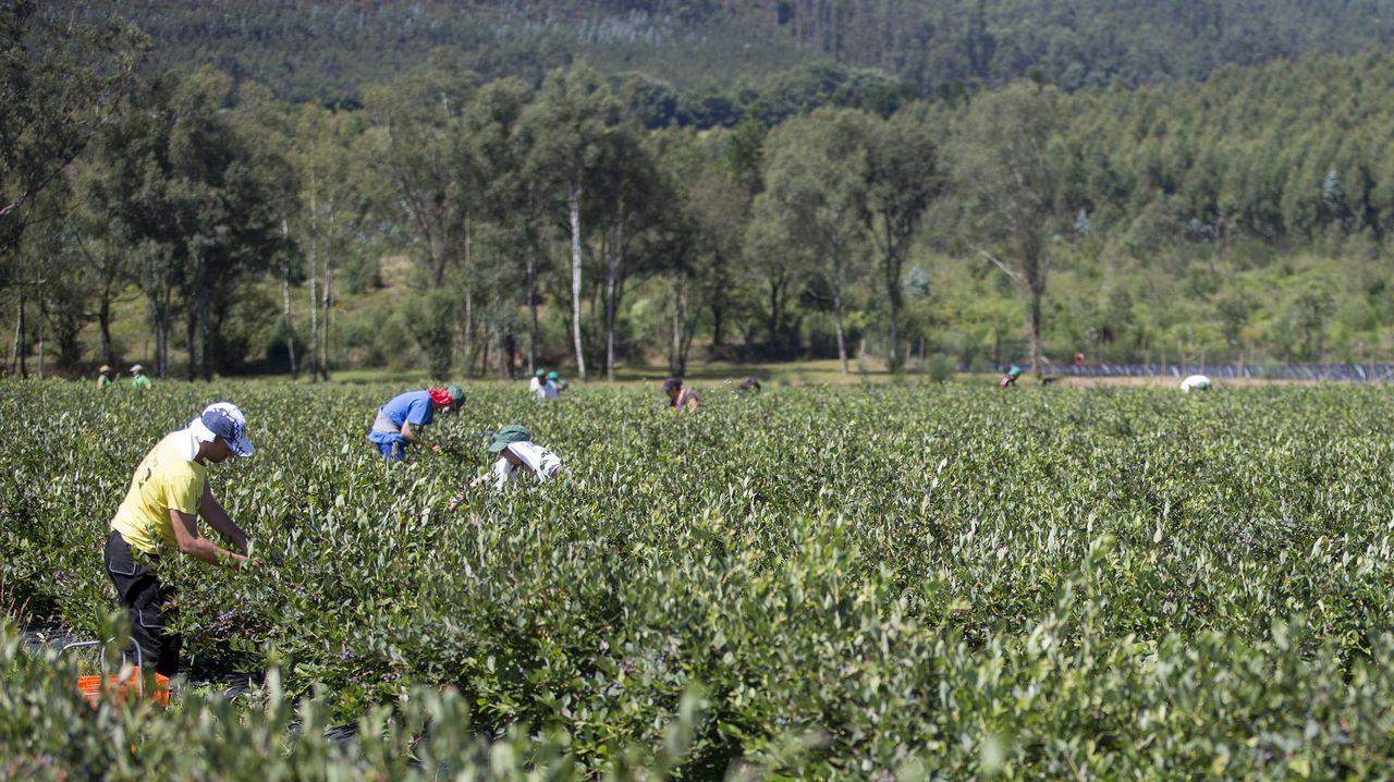 Imagen de archivo de una plantación de arándanos en Ferrolterra