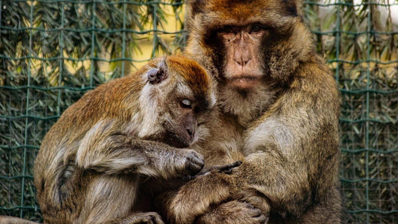 Los macacos Charlie y Dauda en el zoo 'El Bosque' de Oviedo