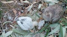 Un abejero alimentando a su cría con un panal de velutina