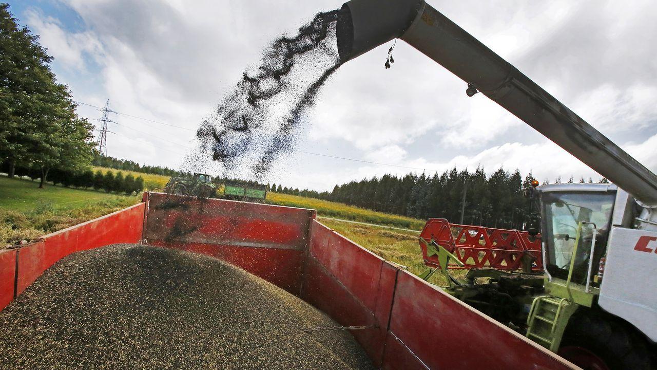 El grano de colza se separa en el campo para luego ser enviado a Portugal